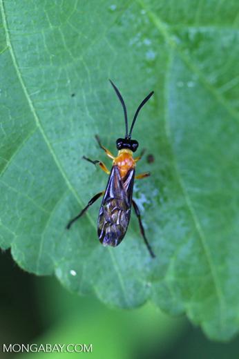 Wasp [manu_0761]