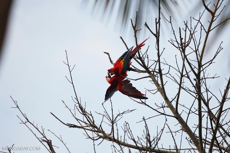 Pair of scarlet macaws playing