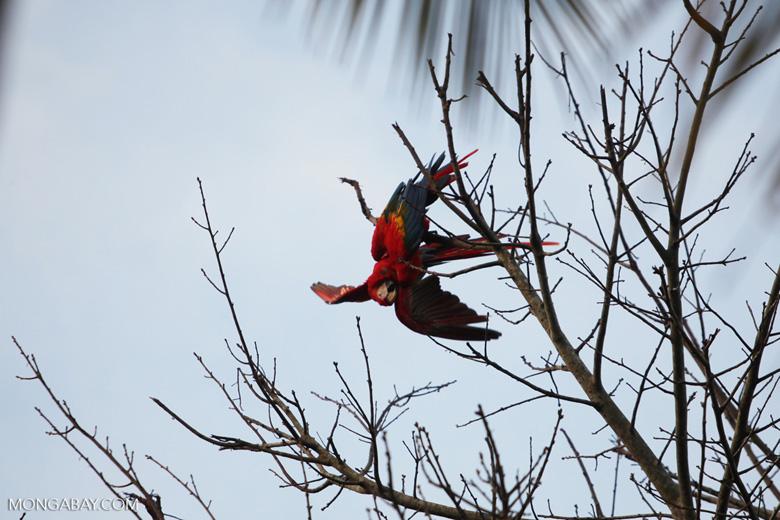 Pair of scarlet macaws playing [manu_0977]