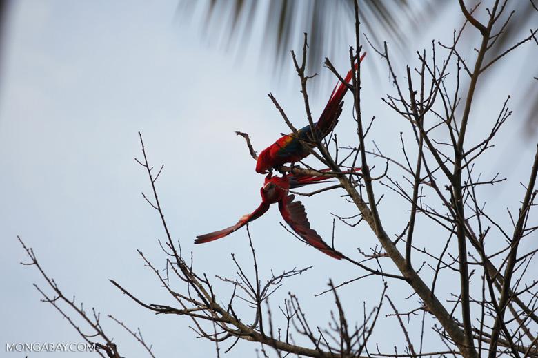 Pair of scarlet macaws playing [manu_0981]