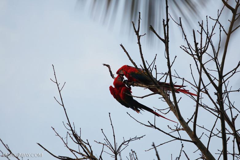 Pair of scarlet macaws playing [manu_0983]