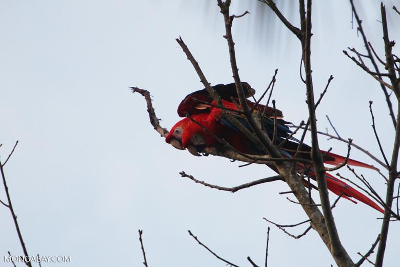 Pair of scarlet macaws [manu_0990]