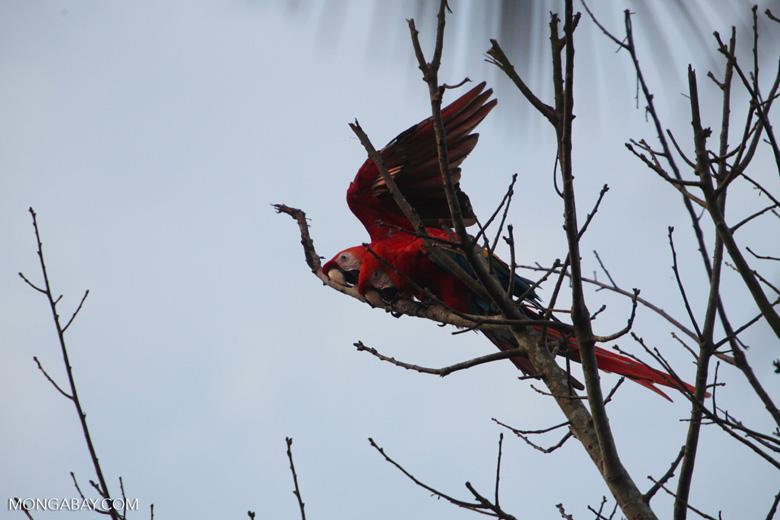 Pair of scarlet macaws [manu_0991]