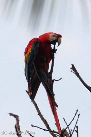 Scarlet macaw in the Amazon [manu_0993]
