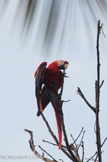 Scarlet macaw in the Amazon