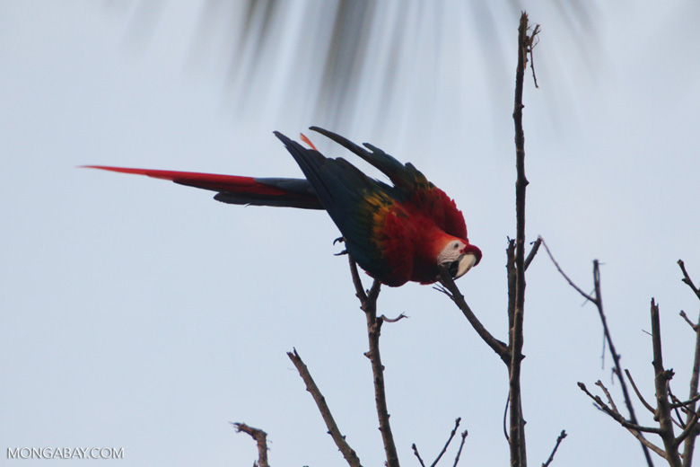 Scarlet macaw in the Amazon [manu_0996]
