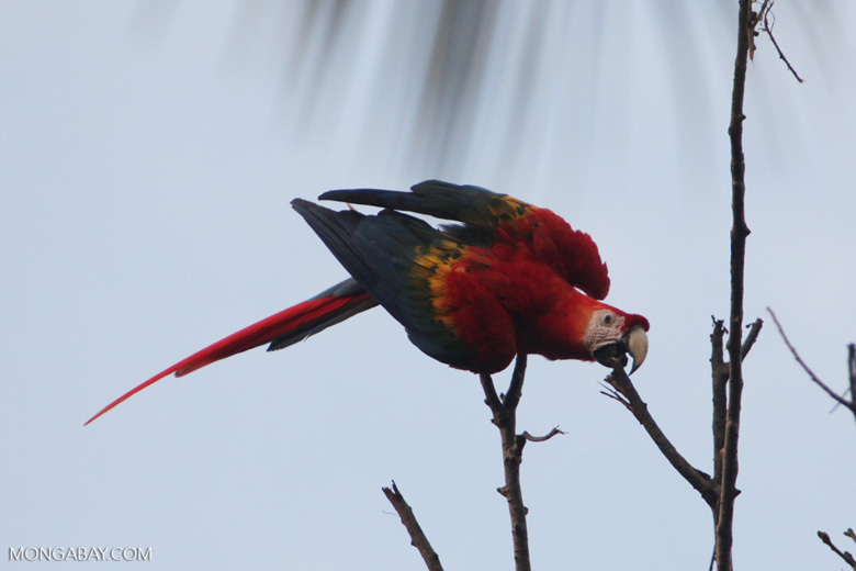 Scarlet macaw in the Amazon [manu_0997]