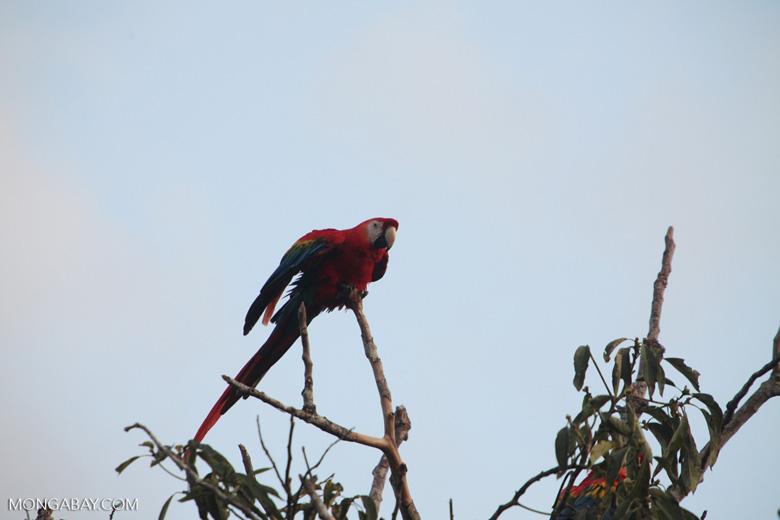 Scarlet macaw in the Amazon [manu_1000]