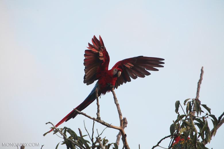 Scarlet macaw in the Amazon [manu_1001]