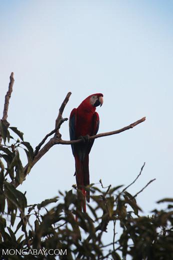 Scarlet macaw in the Amazon [manu_1004]