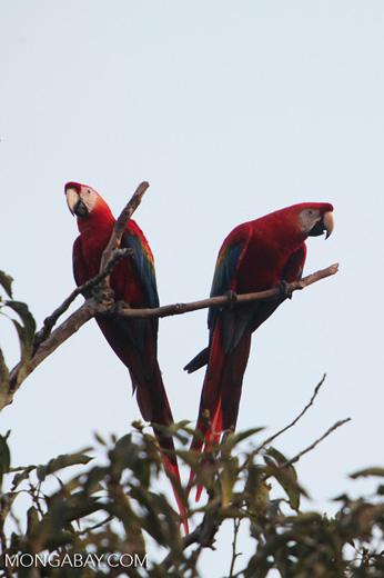 Pair of scarlet macaws