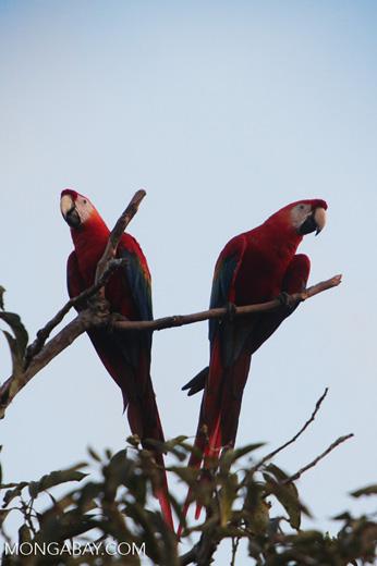 Pair of scarlet macaws [manu_1007]