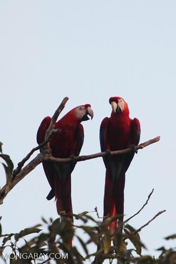 Pair of scarlet macaws [manu_1008]