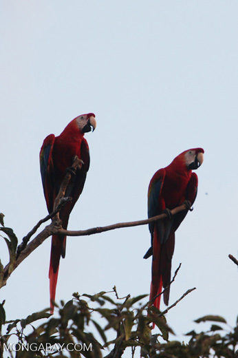 Pair of scarlet macaws [manu_1010]