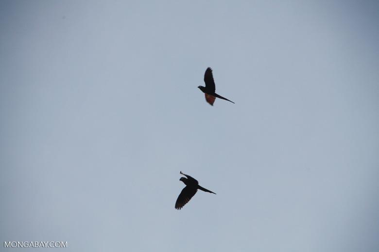 Scarlet macaws in flight [manu_1013]