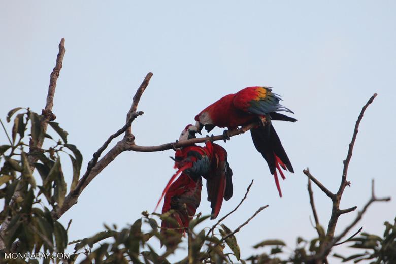 Pair of jawing scarlet macaws [manu_1021]