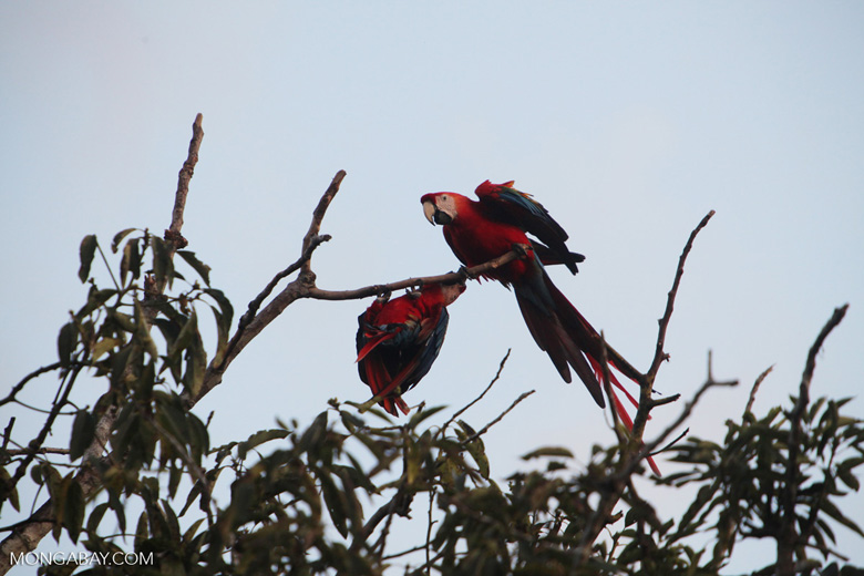 Pair of jawing scarlet macaws [manu_1022]