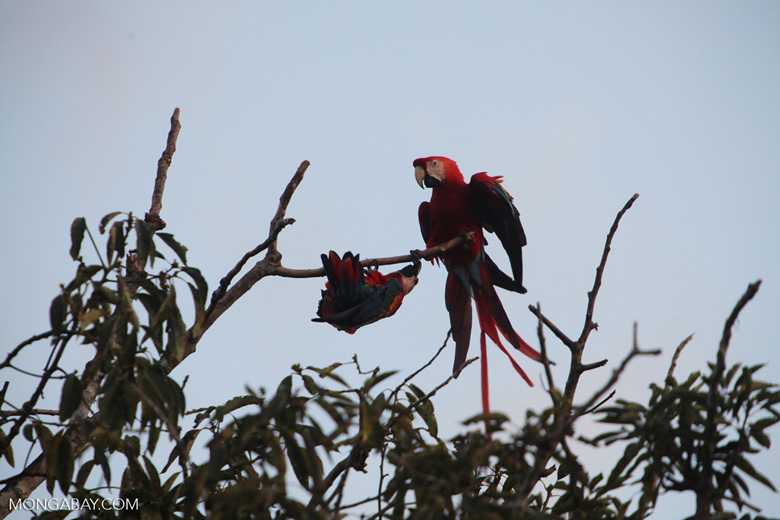 Pair of jawing scarlet macaws [manu_1024]