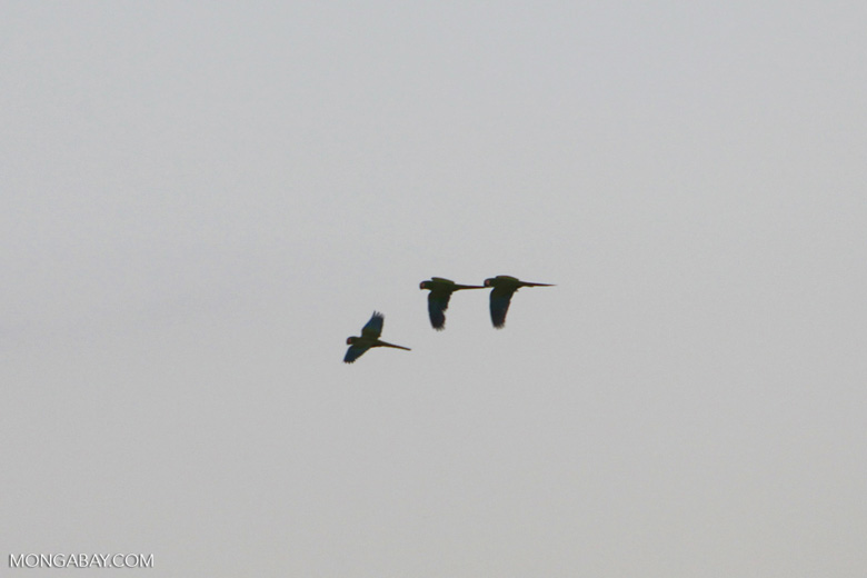 Macaws in flight [manu_1026]