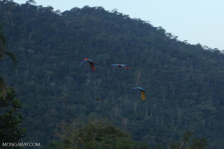 Macaws in flight [manu_1028]