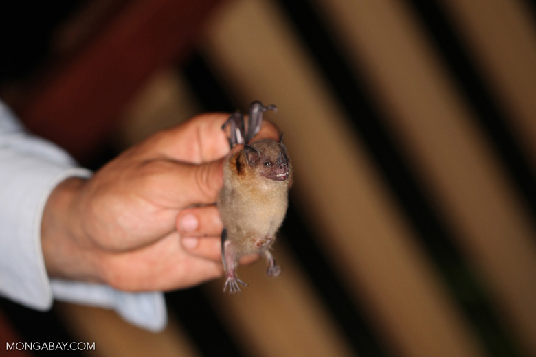 Bat held by a bat researcher