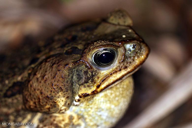 Cane toad [manu_1055]