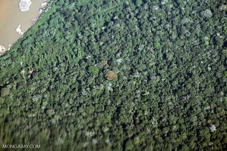 Orange flowering tree in the Amazon rainforest
