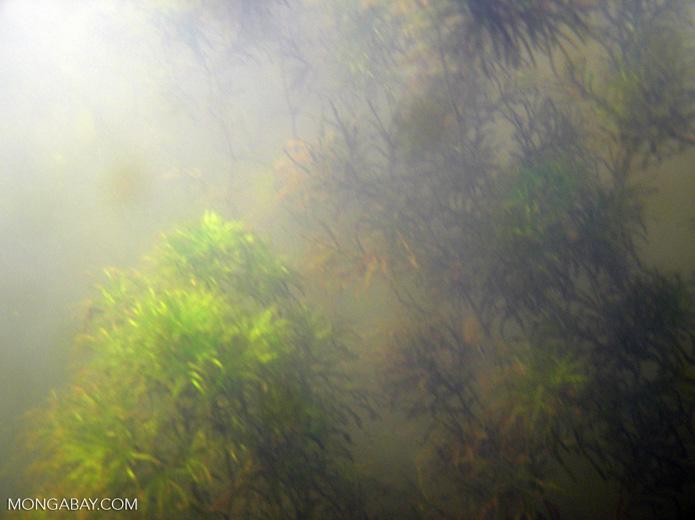 Foxtail aquatic plants in Amazon Oxbow lake [underwater-tambopata194]