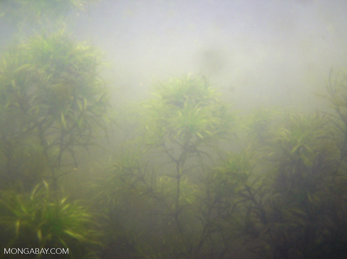 Foxtail aquatic plants in Amazon Oxbow lake [underwater-tambopata219]