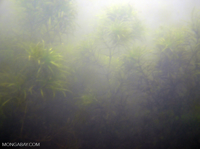 Foxtail aquatic plants in Amazon Oxbow lake [underwater-tambopata221]