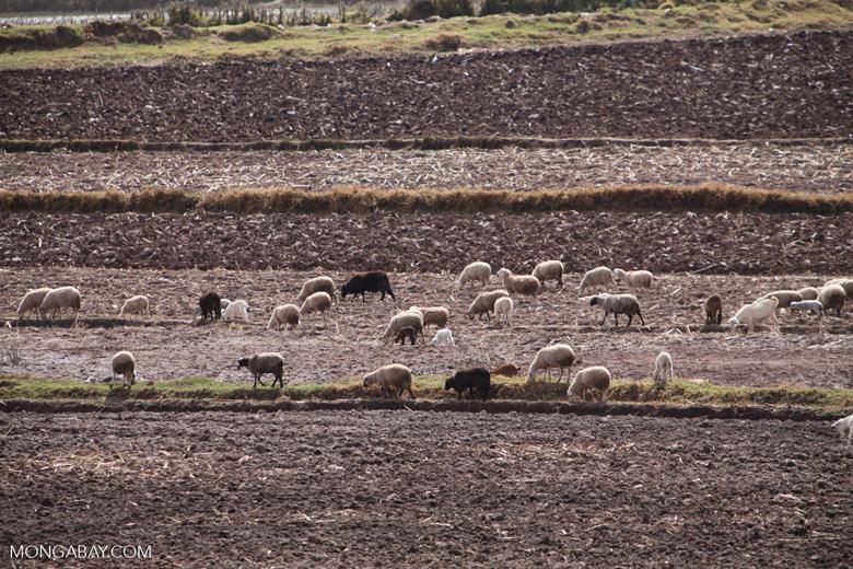 Sheep grazing a field in Peru