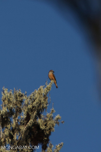 Rufous-bellied bush-tyrant [wayquecha-andes_0138]