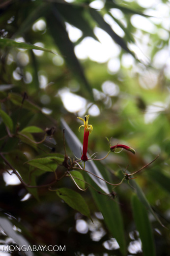 Yellow and red tube flower