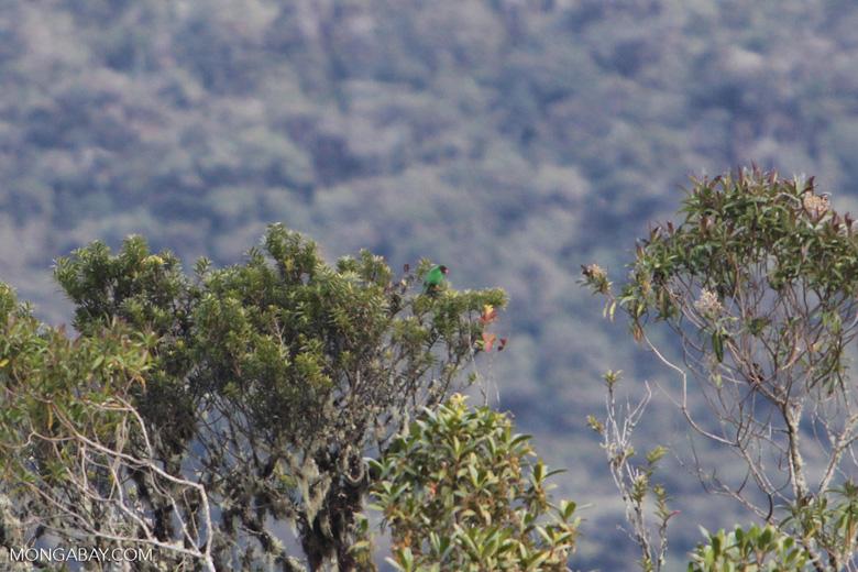 Grass-green Tanager (Chlorornis riefferii) [wayquecha-andes_0506]