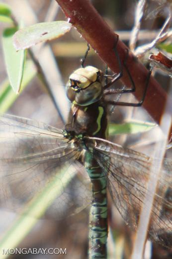 Peruvian dragonfly
