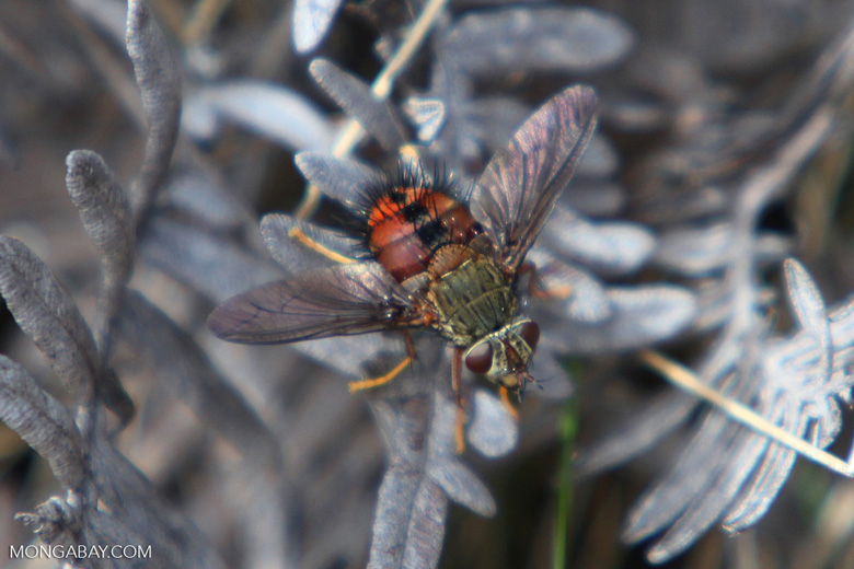 Celadon and red-orange fly
