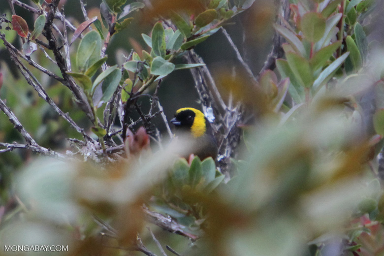 Golden-collared tanager [wayquecha-andes_0677]