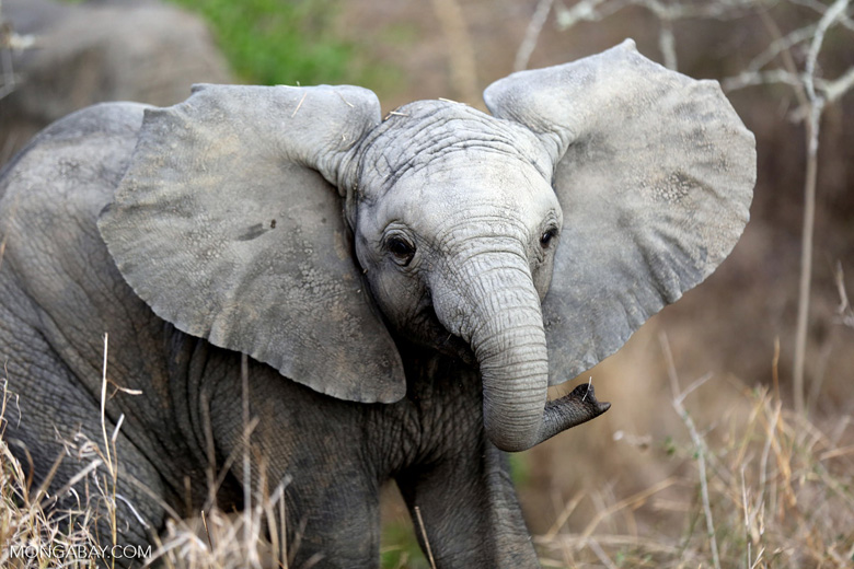 Baby African elephant in South Africa. Photo by Rhett A. Butler