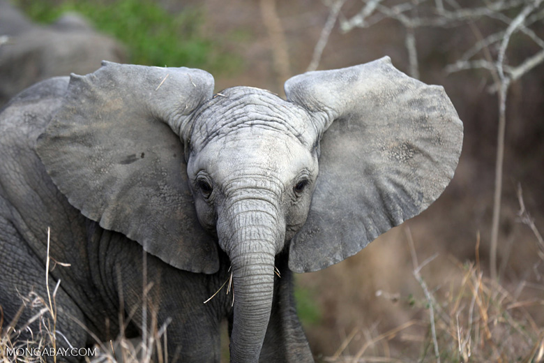 Elephant in South Africa. Photo by Rhett A. Butler