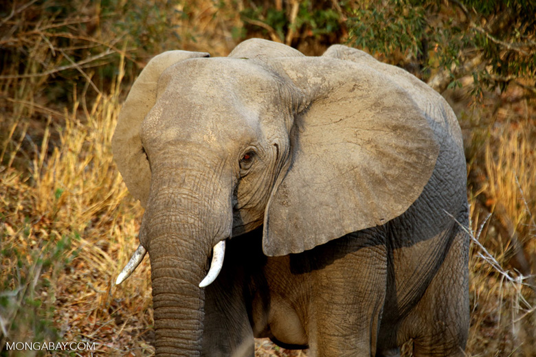 Young elephant in South Africa. Photo by Rhett A. Butler