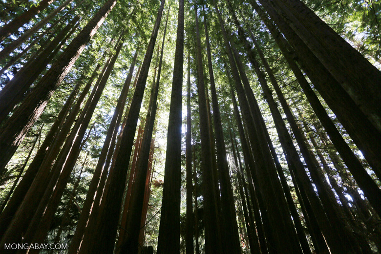 Redwood forest of the Forest of Nisene Marks State Park