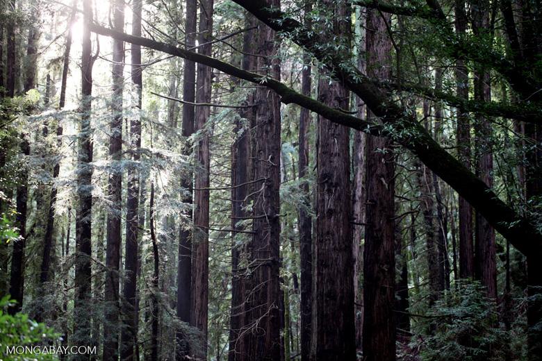 Redwood forest in Wunderlich