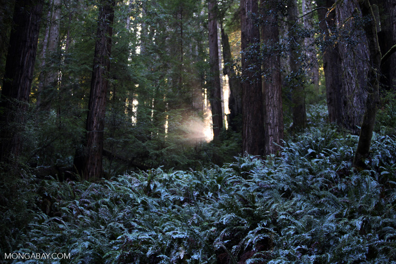 Redwood forest of Van Damme State Park