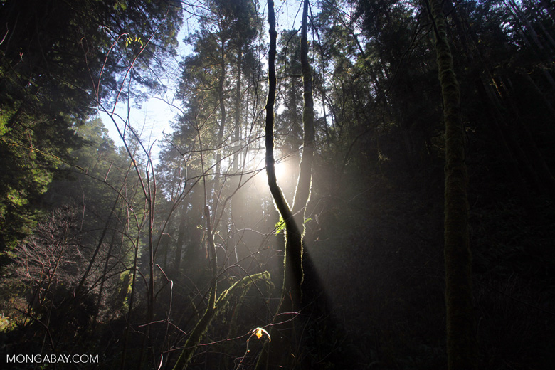 Redwood forest of Russian Gulch State Park