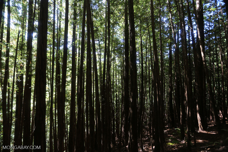 Redwood forest in Muir Woods