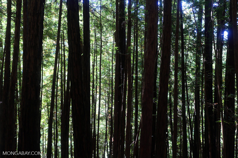 Redwood trees in Muir Woods
