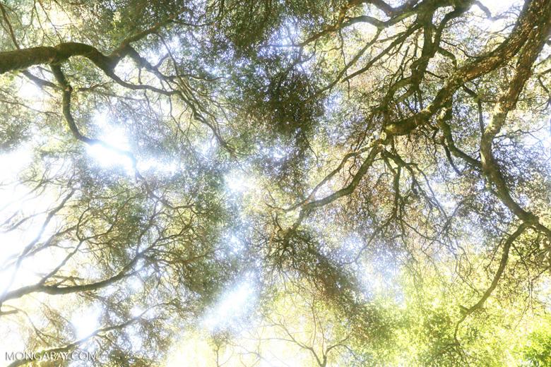 Oak forest in Muir Woods