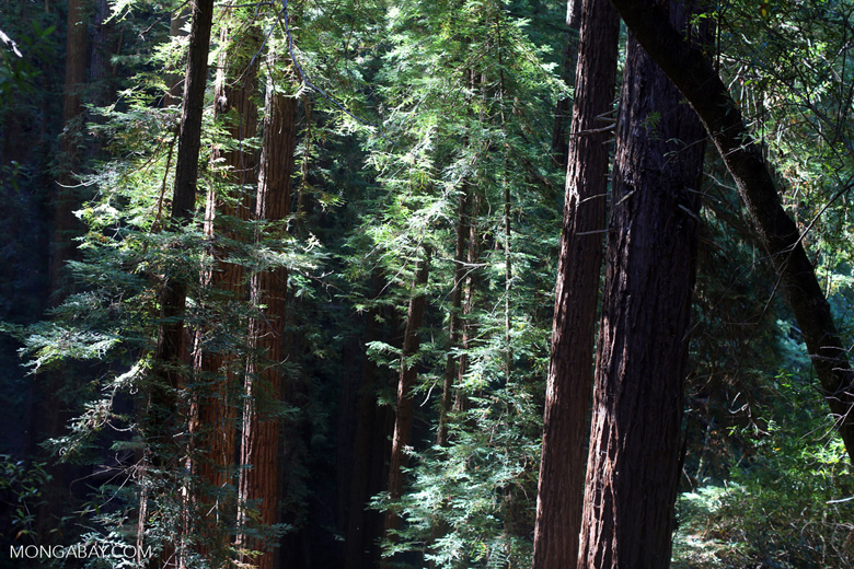 Redwood forest in Muir Woods National Monument