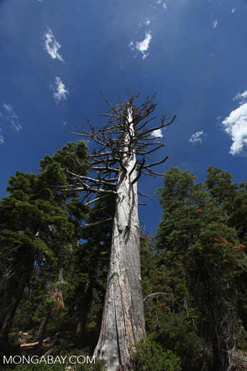 Dead tree in the Sierras