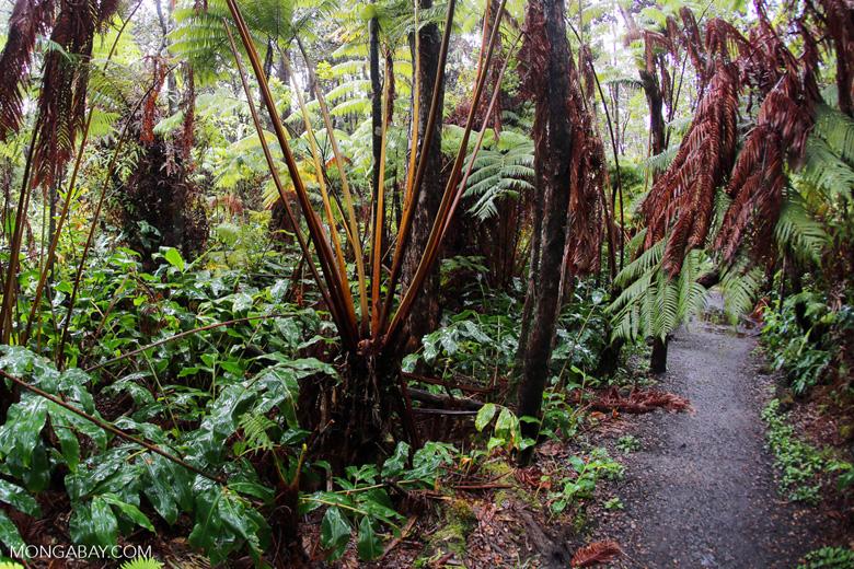 Trail through a fern forest